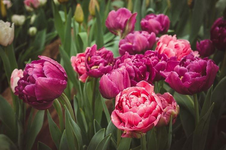 Махровый тюльпан - Цветы похожие на розы