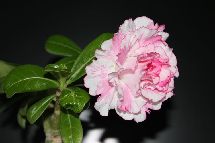 Махровый адениум - Цветы похожие на розы