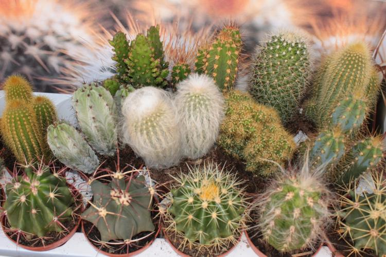 Общая характеристика - Домашние кактусы