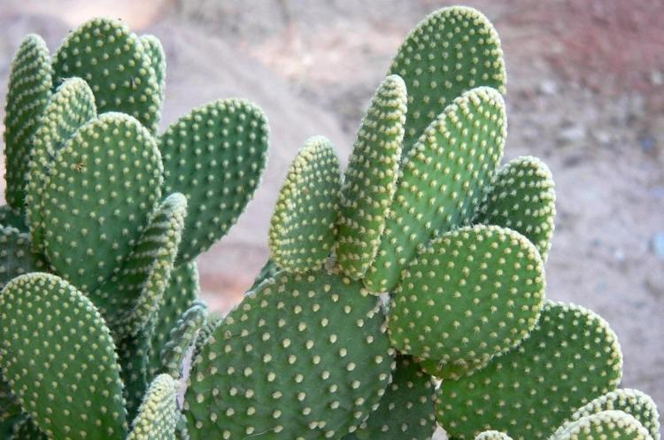 Опунция - Виды домашних кактусов