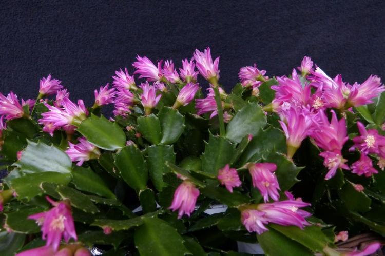 Шлюмбергера - Виды домашних кактусов