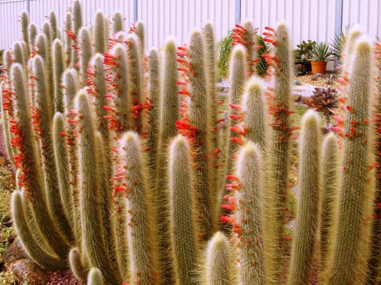 Клейстокактус Штрауса - Виды домашних кактусов