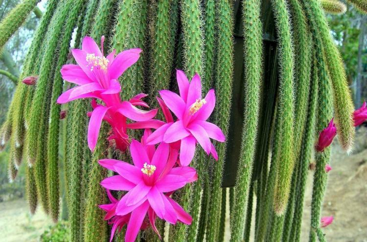 Апорокактус - Виды домашних кактусов