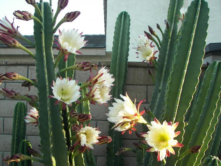 Цереус - Виды домашних кактусов