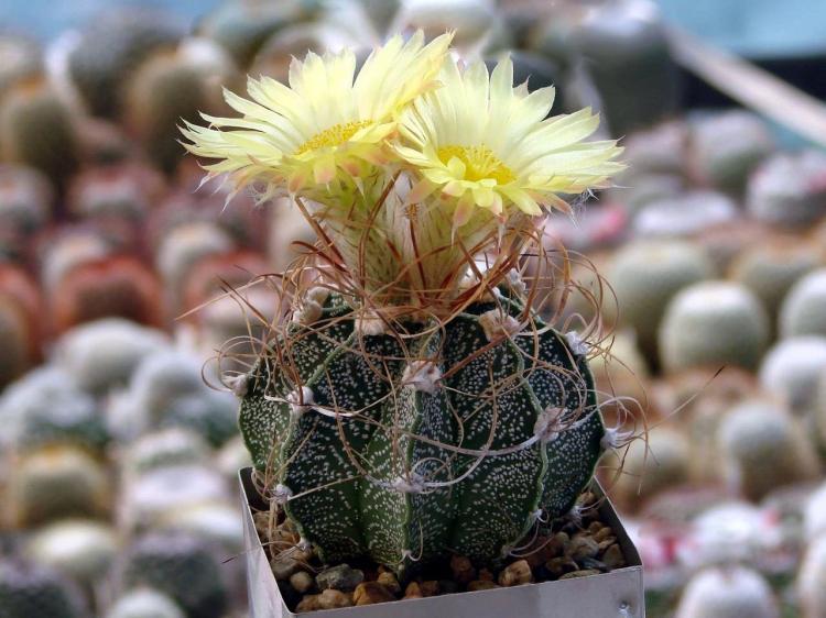 Астрофитум - Виды домашних кактусов