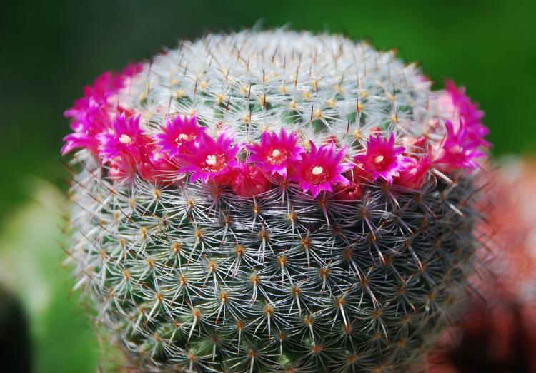 Маммилярия - Виды домашних кактусов