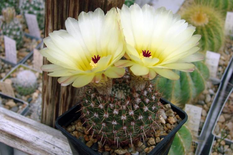 Нотокактус Отто - Виды домашних кактусов