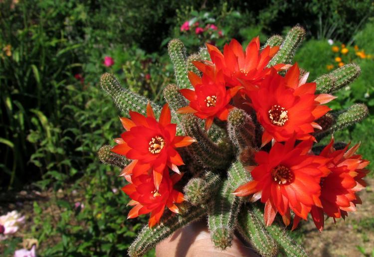 Хамецереус Сильвестри - Виды домашних кактусов