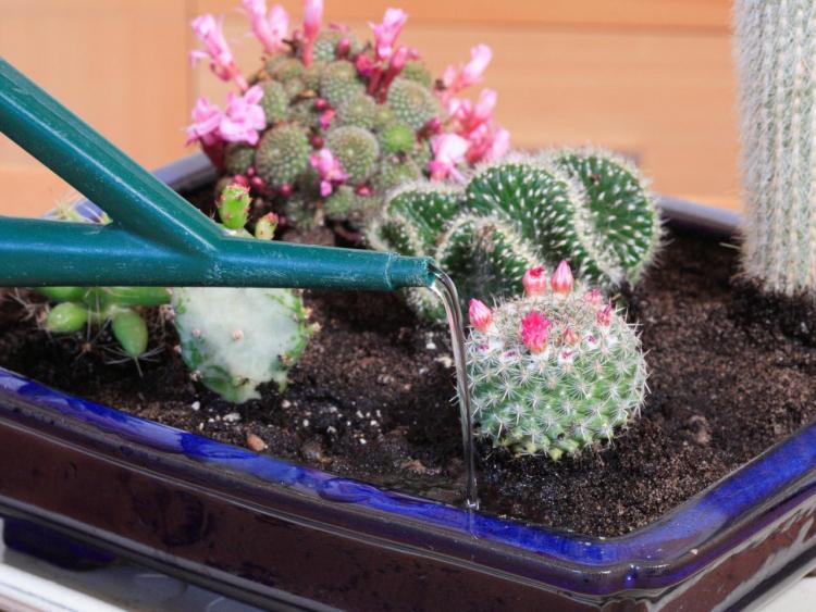 Полив - Уход за домашними кактусами