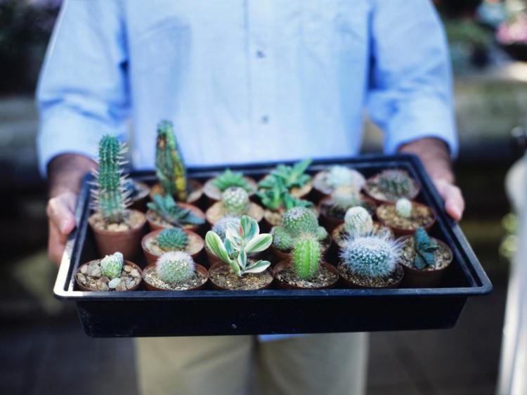 Удобрения и подкормка - Уход за домашними кактусами