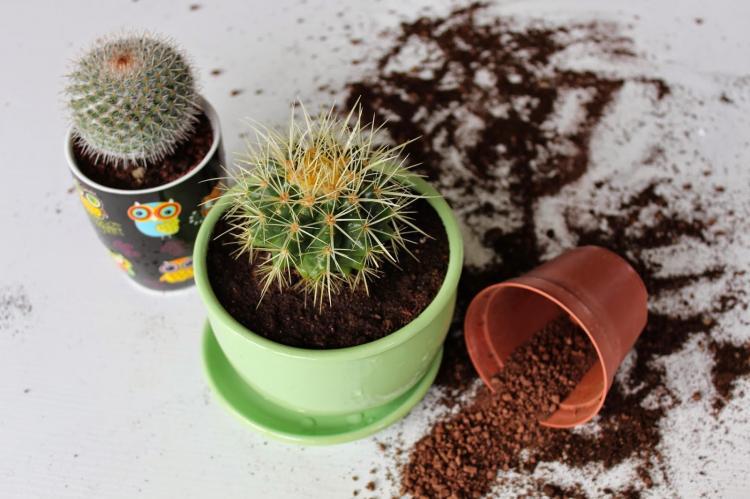 Посадка и размножение домашних кактусов
