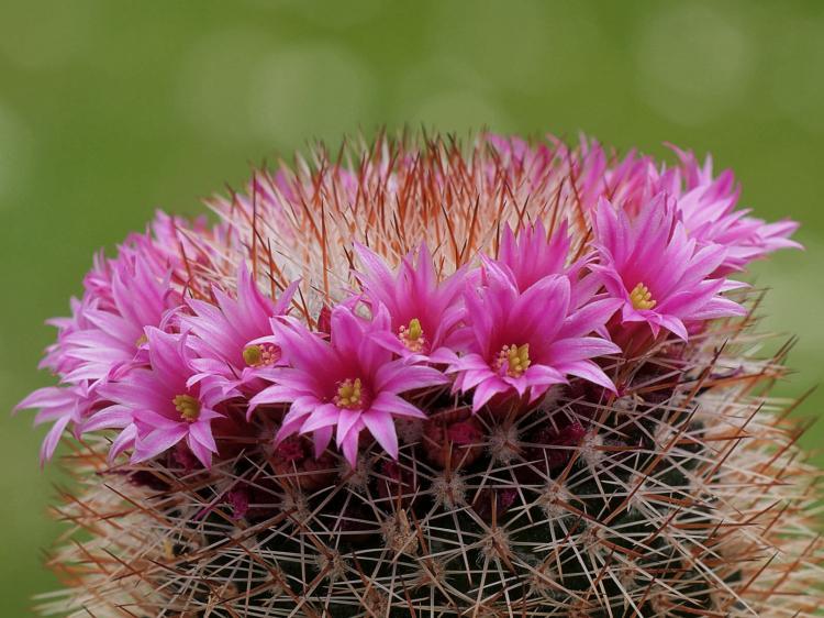 Домашние кактусы - фото