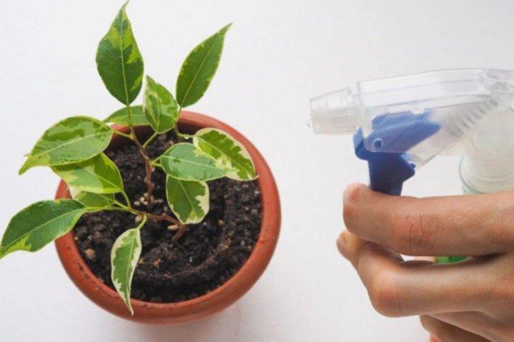 Как поливать фикус Бенджамина - уход в домашних условиях