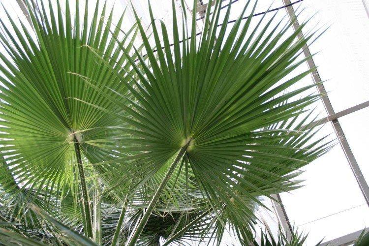 Североамериканская пальма