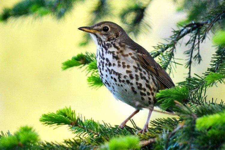 Дрозд (50 фото): описание птицы, чем питается и где обитает