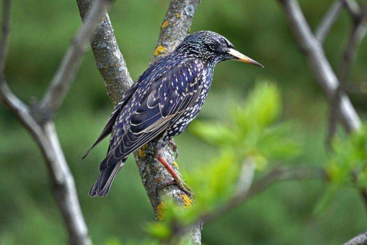 Скворец (50 фото): описание птицы, среда обитания и чем питается