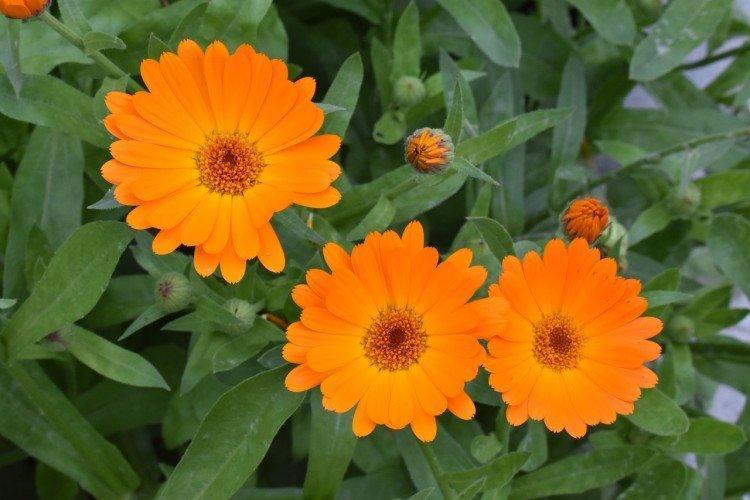 Как продлить цветение календулы?