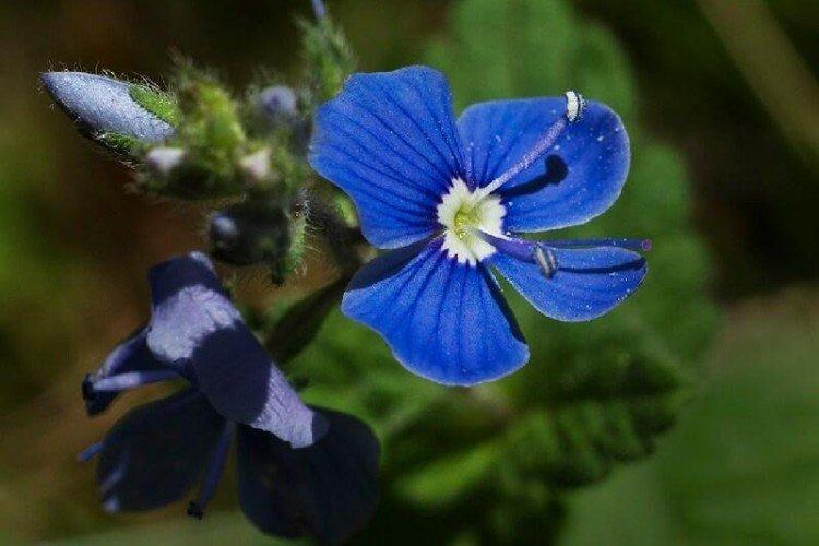 Цветок вероника – фото