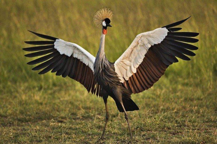 Журавль (60 фото): описание птицы, среда обитания и чем питается