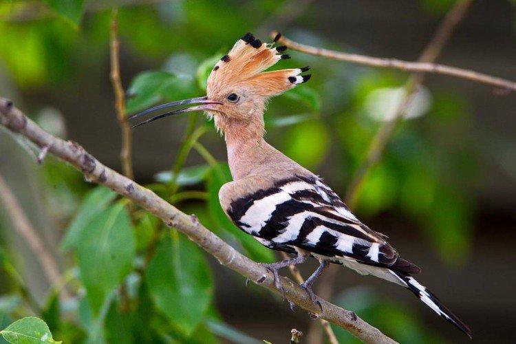 Удод (50 фото): описание птицы, чем питается и где обитает