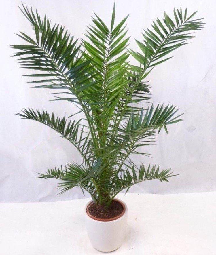 Финиковая пальма – фото