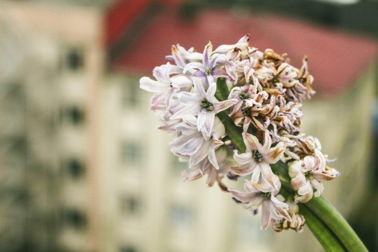 Борьба с вредителями и болезнями - Гиацинт