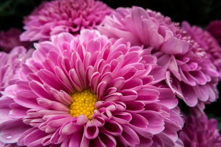 Хризантемы (90 фото): виды, правильный уход