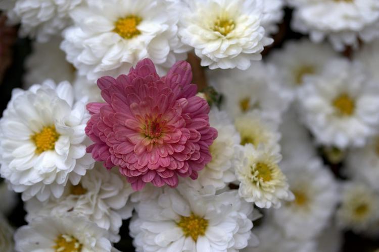 Общая характеристика - Хризантемы