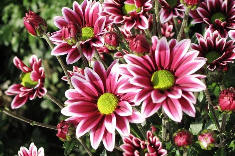 История распространения - Хризантемы