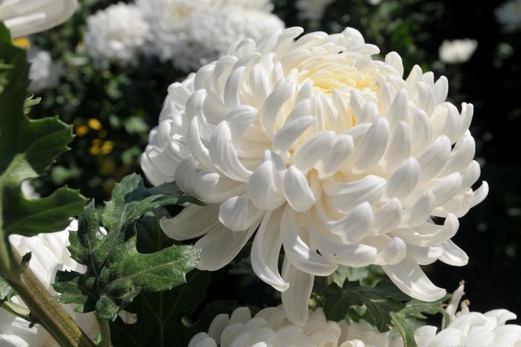 Газель - Виды хризантем