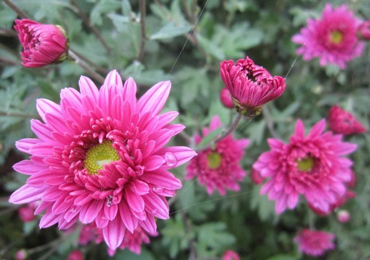 Аленушка - Виды хризантем