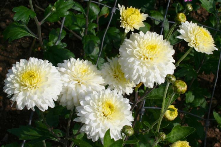 Эвелин Буш - Виды хризантем