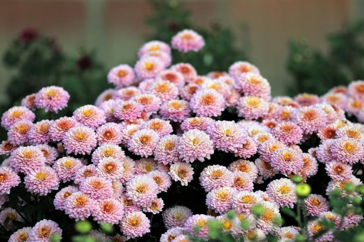 Ида - Виды хризантем