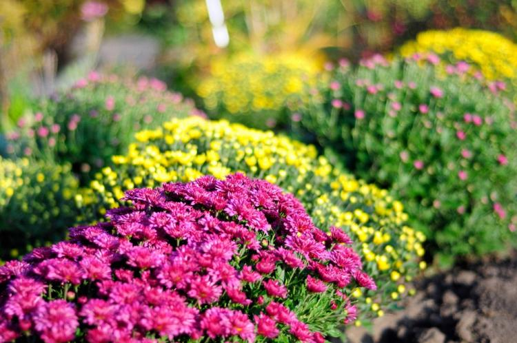 Мультифлора - Виды хризантем