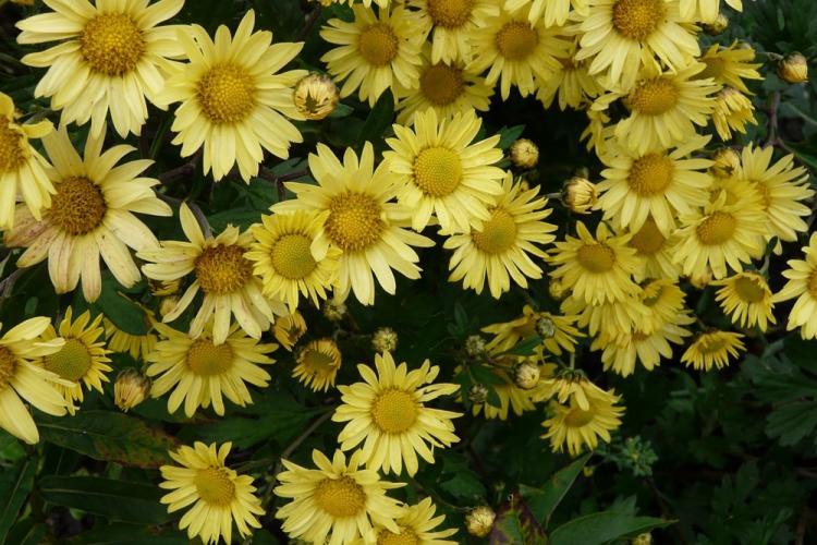 Посевная хризантема - Виды хризантем