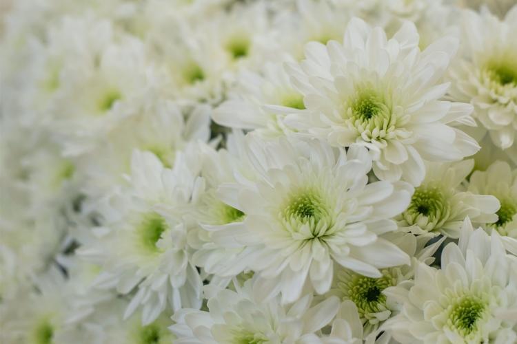 Зембла - Виды хризантем