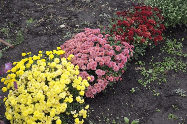 Почва - Уход за хризантемами