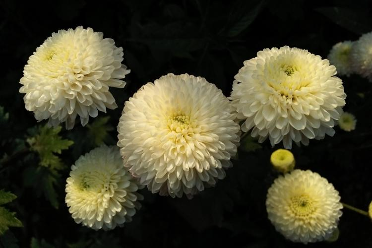 нас шаровые хризантемы фото этим ярким