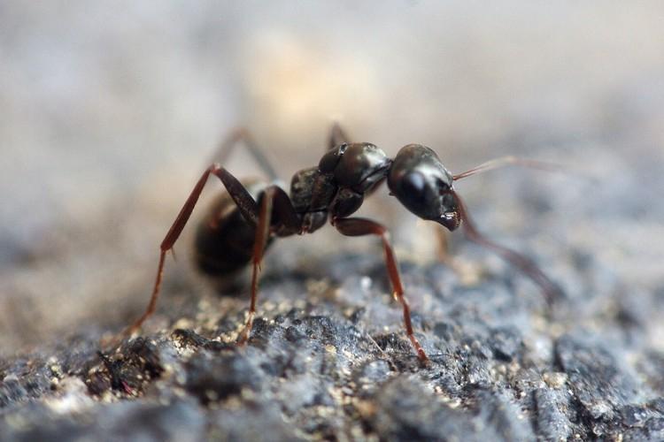 Как избавиться от летучих муравьев в огороде