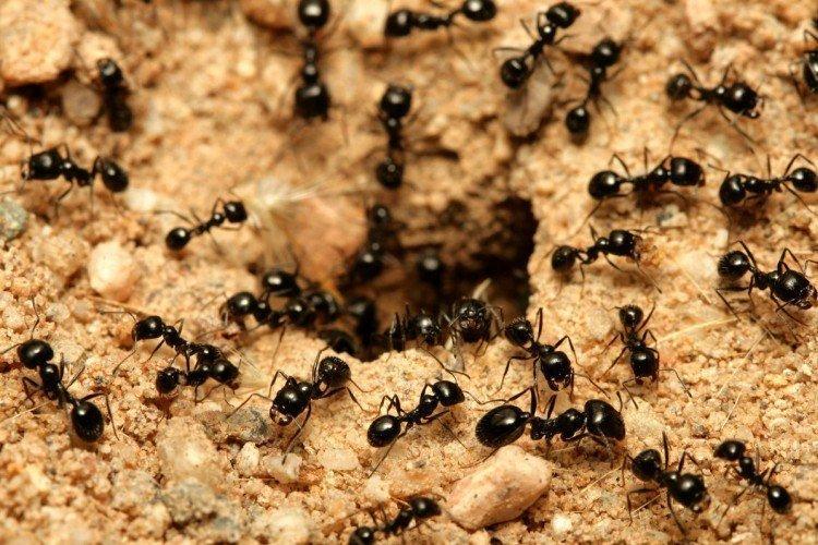 Как избавиться от муравьев на участке - народные средства