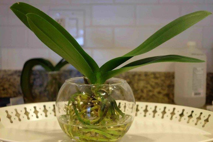 Как часто поливать орхидею в домашних условиях