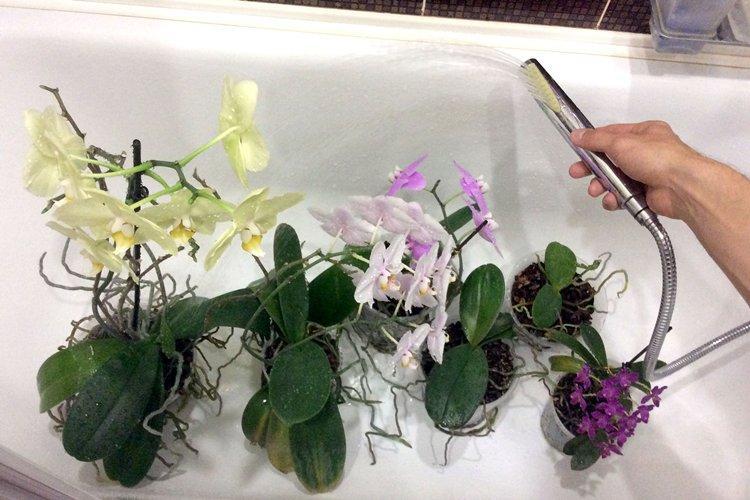 Душ для орхидеи - Как поливать орхидею в домашних условиях