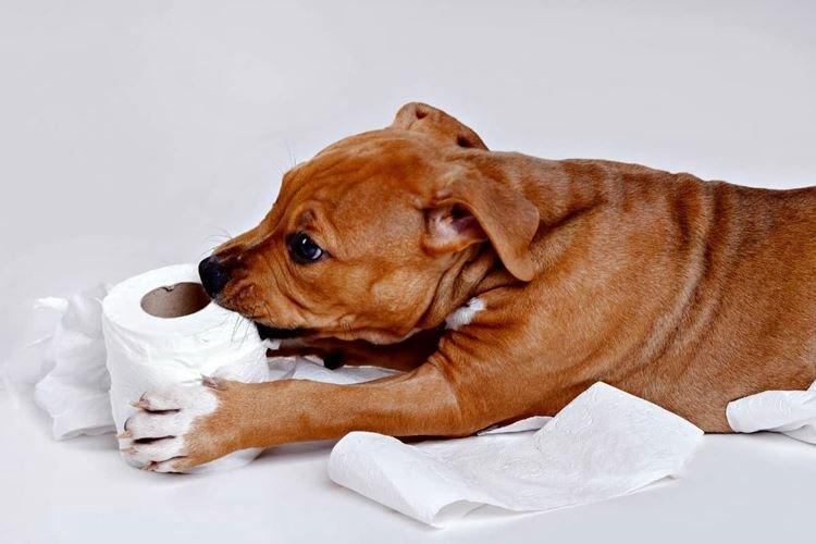 Когда приучать собаку к пеленке