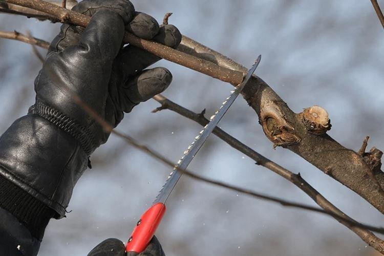 Подготовка инструментов - Как привить яблоню весной пошаговая инструкция