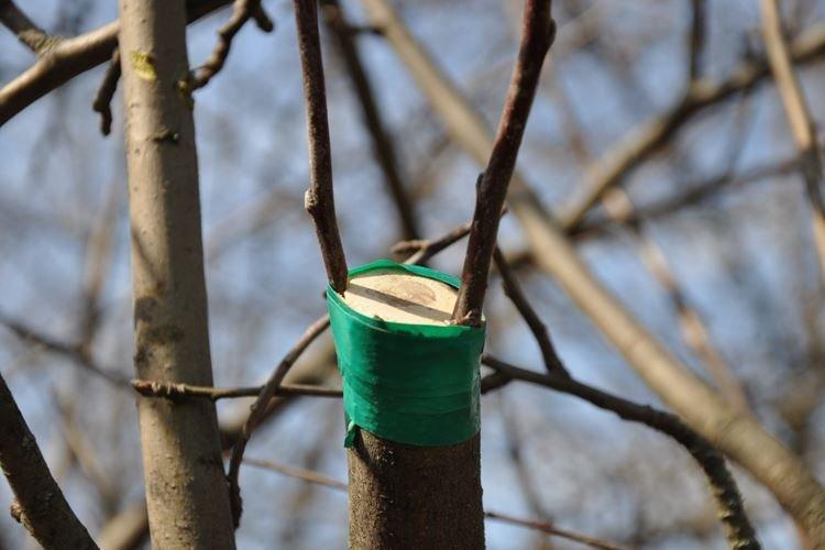 Выбор подвоя - Как привить яблоню весной пошаговая инструкция