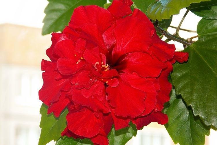 Китайская роза - фото