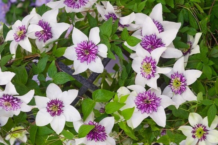 Клематис Цветистый - Виды клематиса