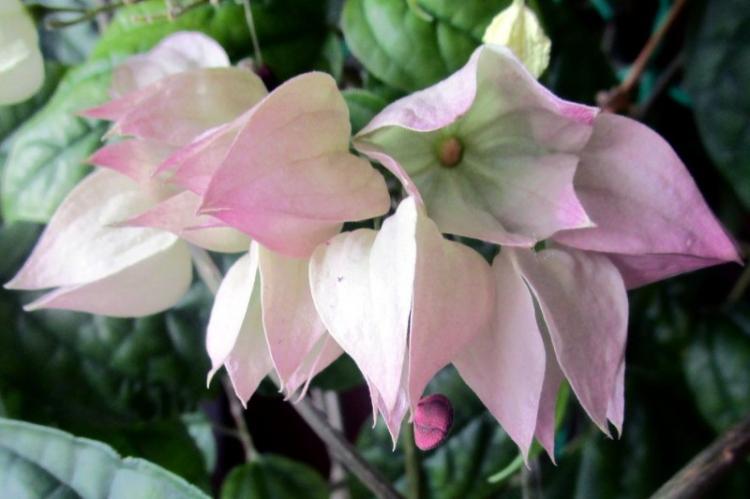Как заставить клеродендрум Томпсона цвести