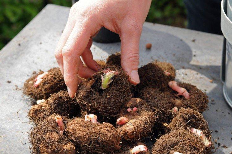 Размножение клубнями - Комнатная бегония уход в домашних условиях