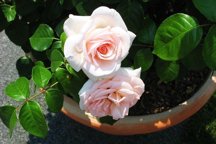 Комнатная роза - фото